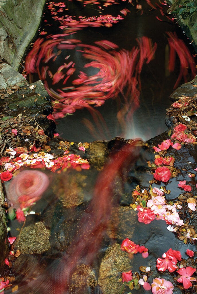 camellia blossoms falling into the water below