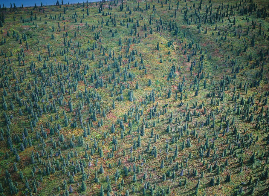 Spruce and Tundra at the Edge of a Lake, 2000.jpg