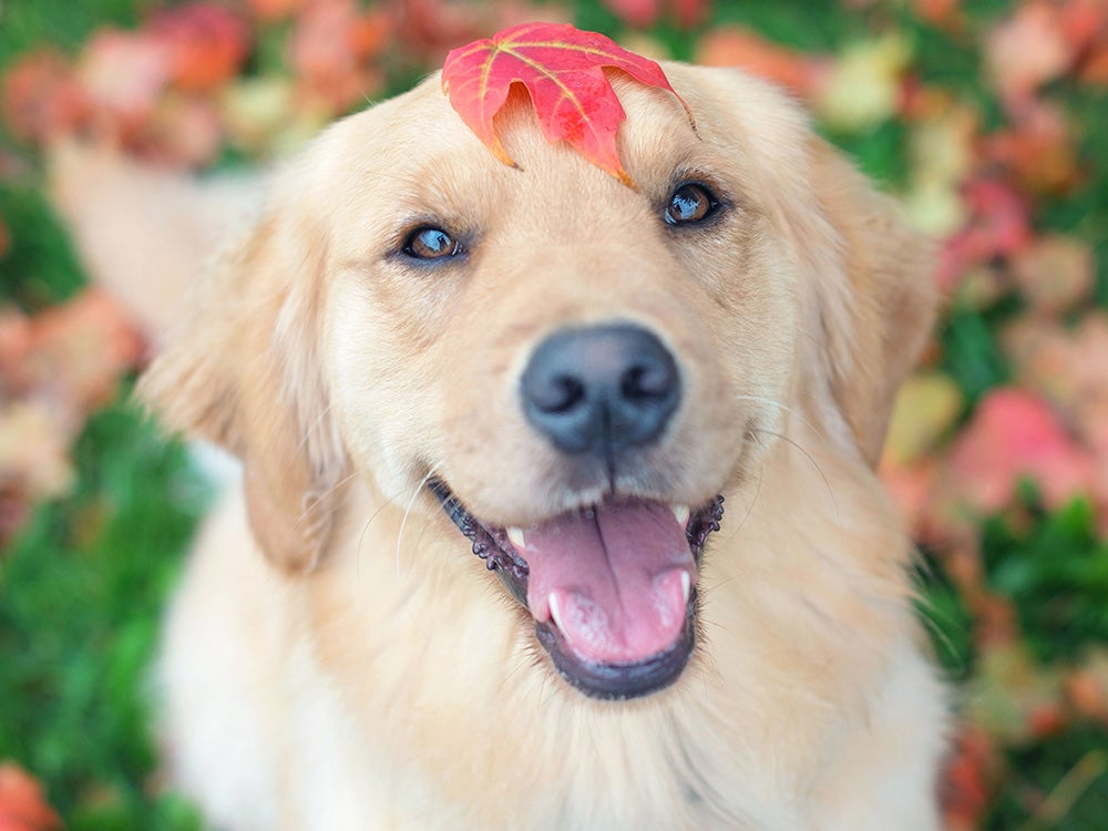 Portrait of a Golden retriever dog with a maple leaf on its head