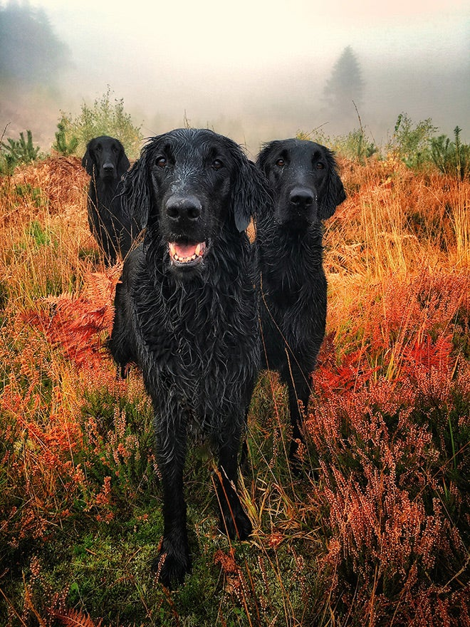 black labs outside in fall