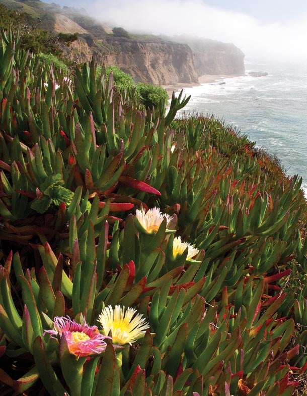 Shooting blooming ice plants on the side of the road with fog in the distance