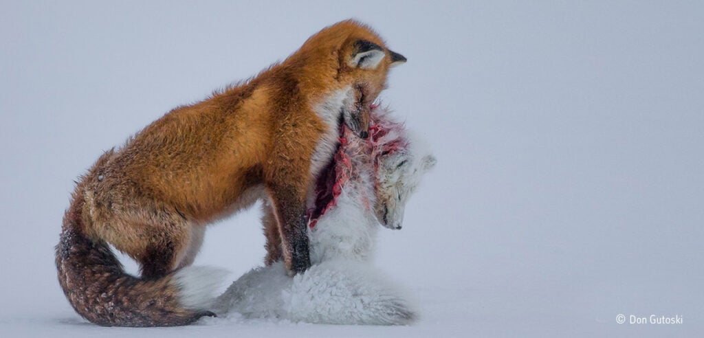 Wildlife Photographer of the Year Photo Foxes