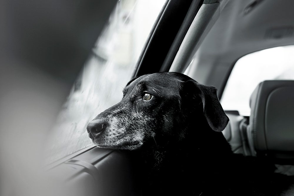 older dog looking out window