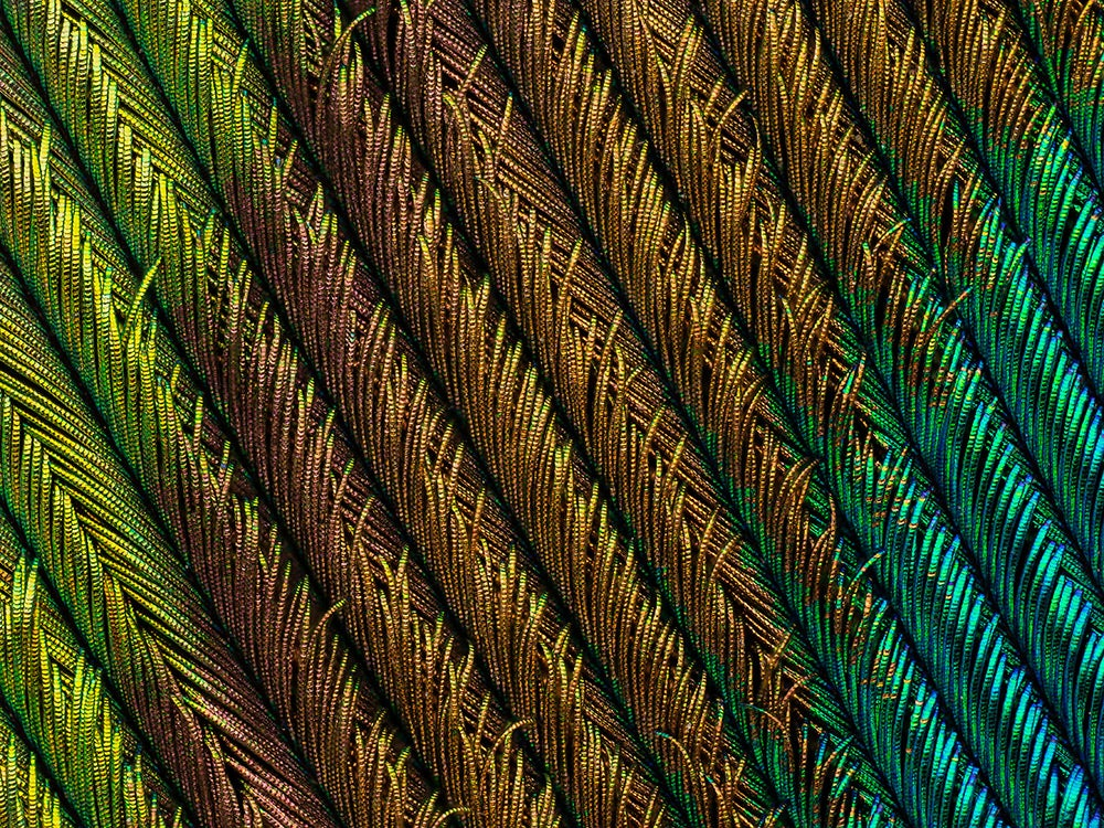 Peacock feather section