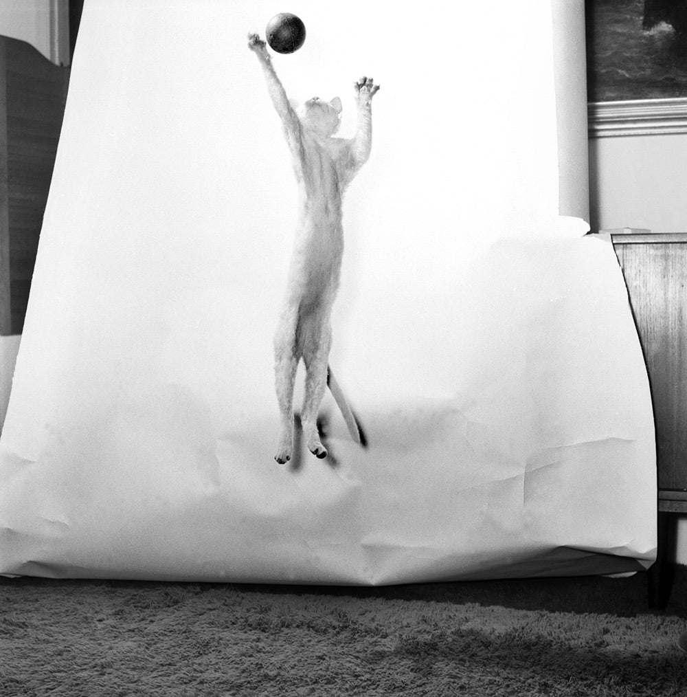 cat jumping for ball