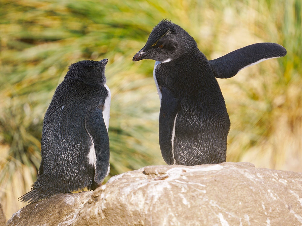 Penguin ready to slap another penguin