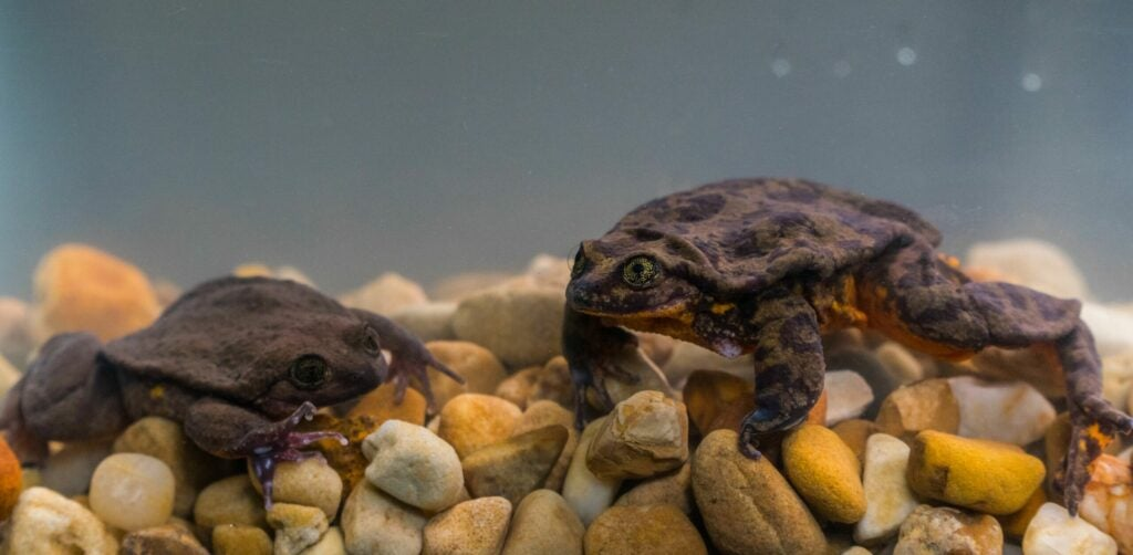 Romeo and Juliet frogs Global Wildlife Conservation