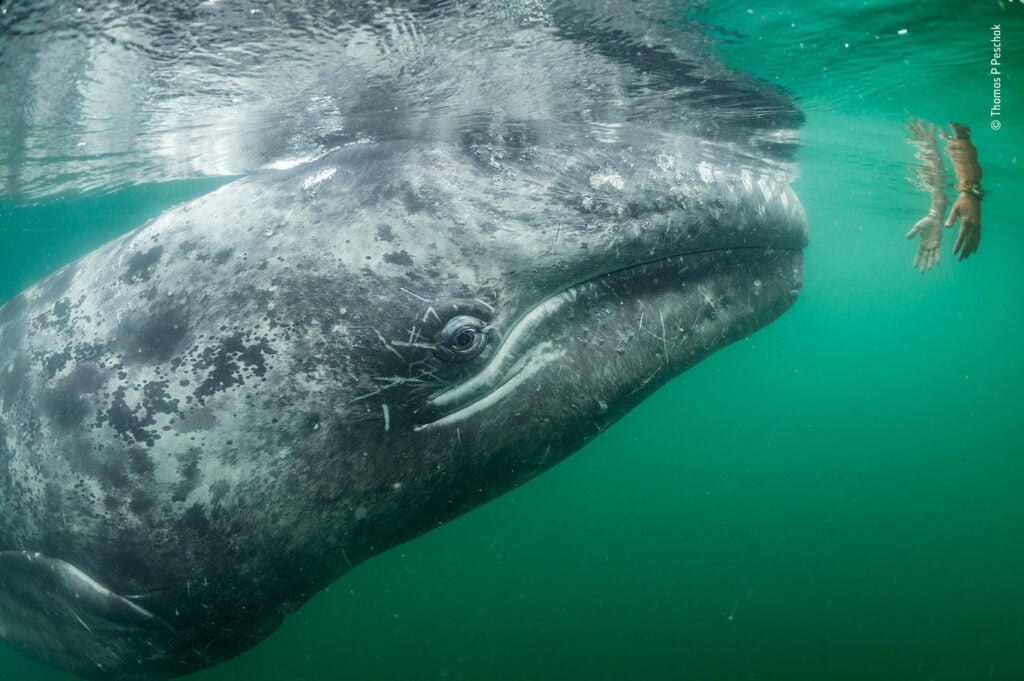 A baby grey whale approaching a human hand in water