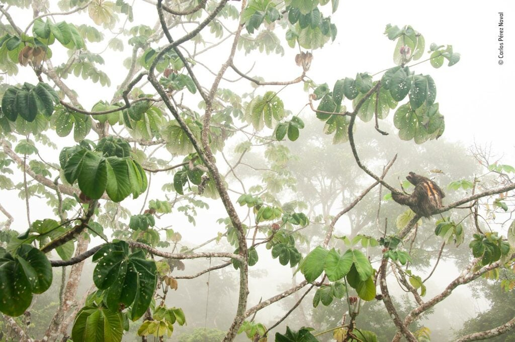 A brown-throated three-toed sloth sitting on branch in jungle canopy