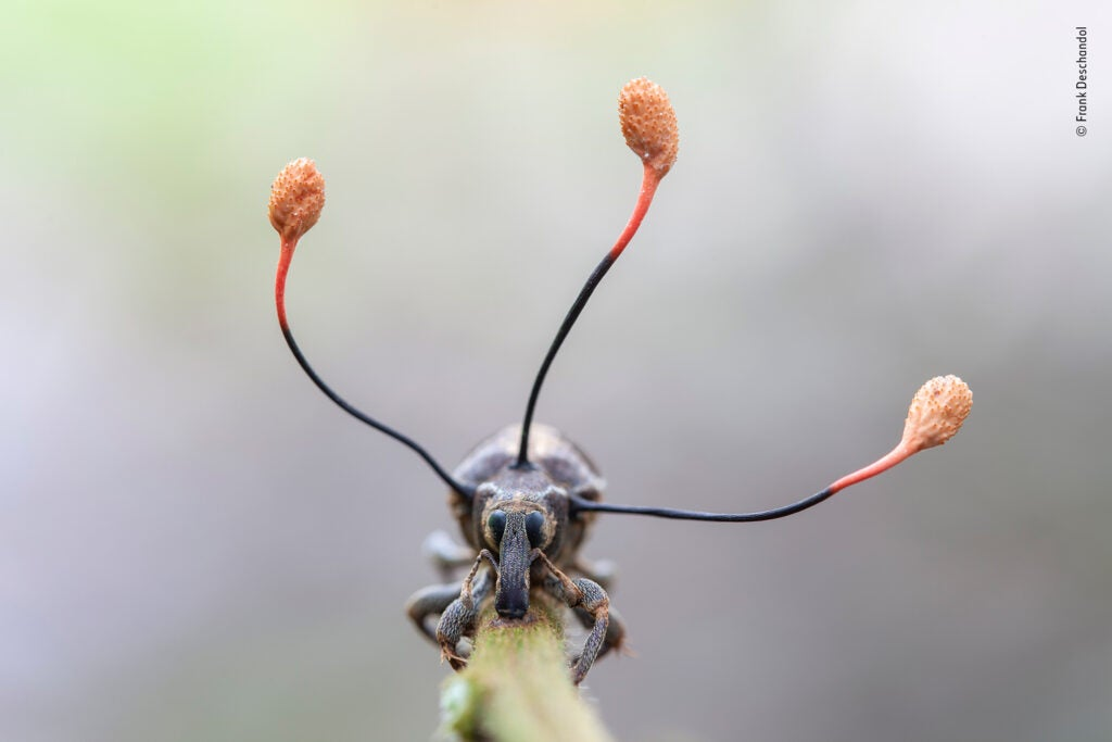 A tentacle-like fungus growing out of a dead weevil