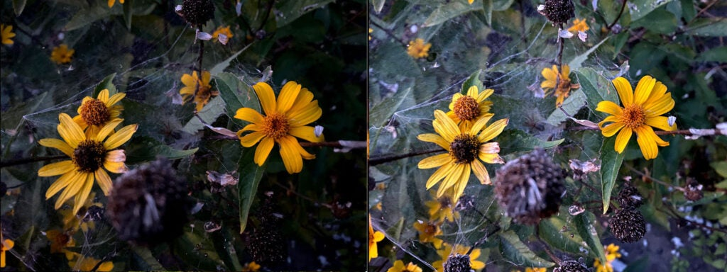 Yellow flowers without and with night mode