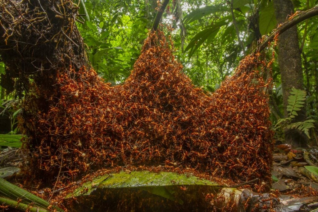 Army ants making a nest