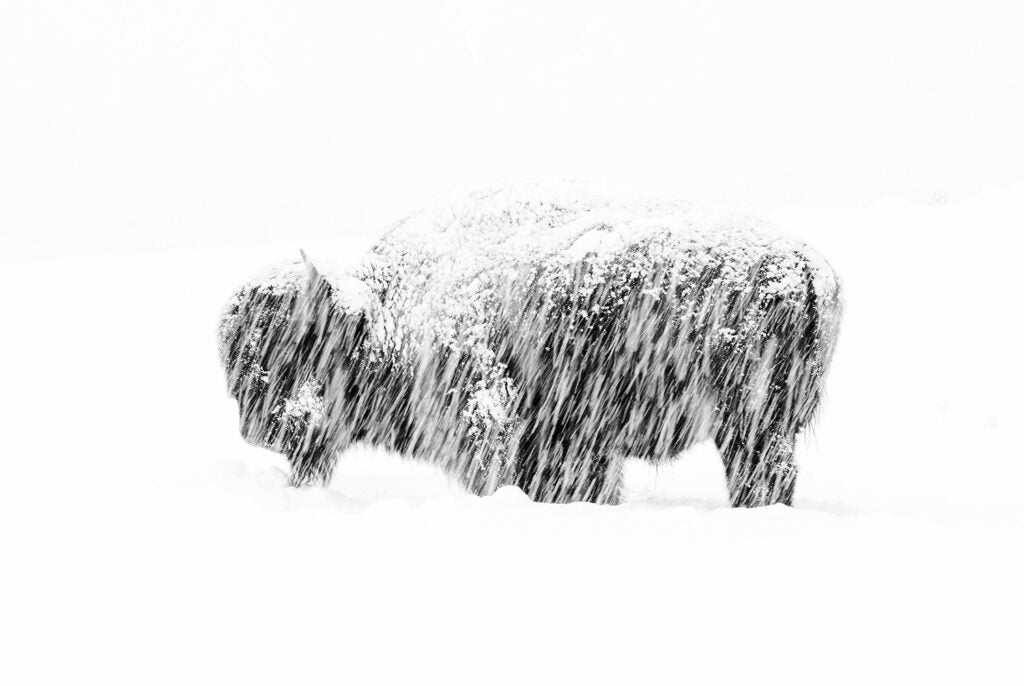 An American bison weathering a snow storm