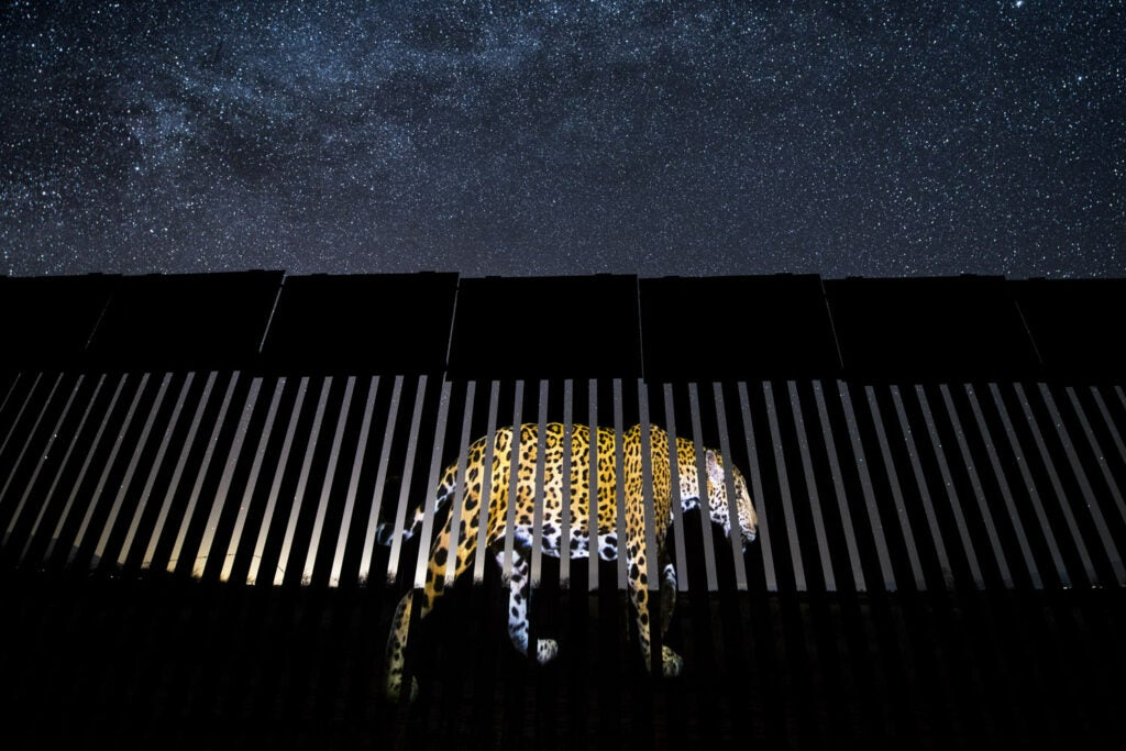 Jaguar image projected on the US-Mexico border wall