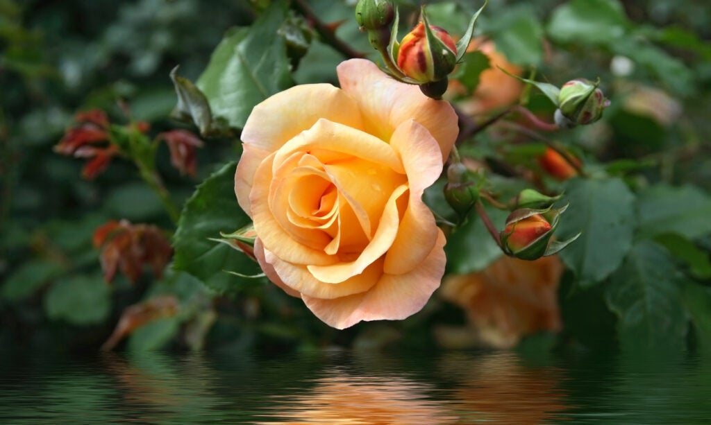 yellow rose between buds and foliage is reflected on water