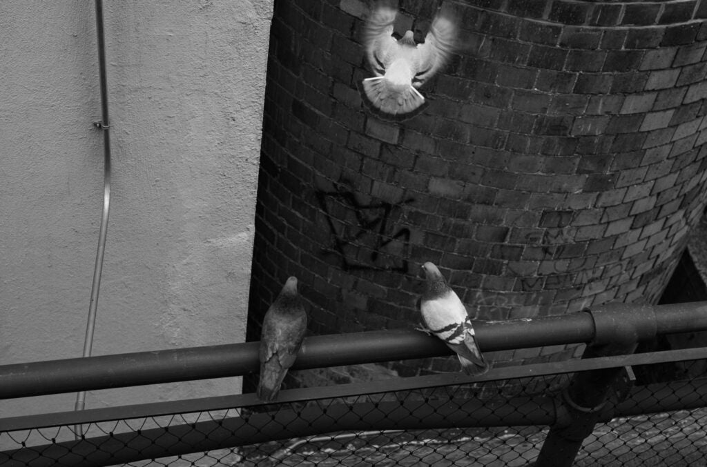 Pigeons in flight near the High Line in Chelse