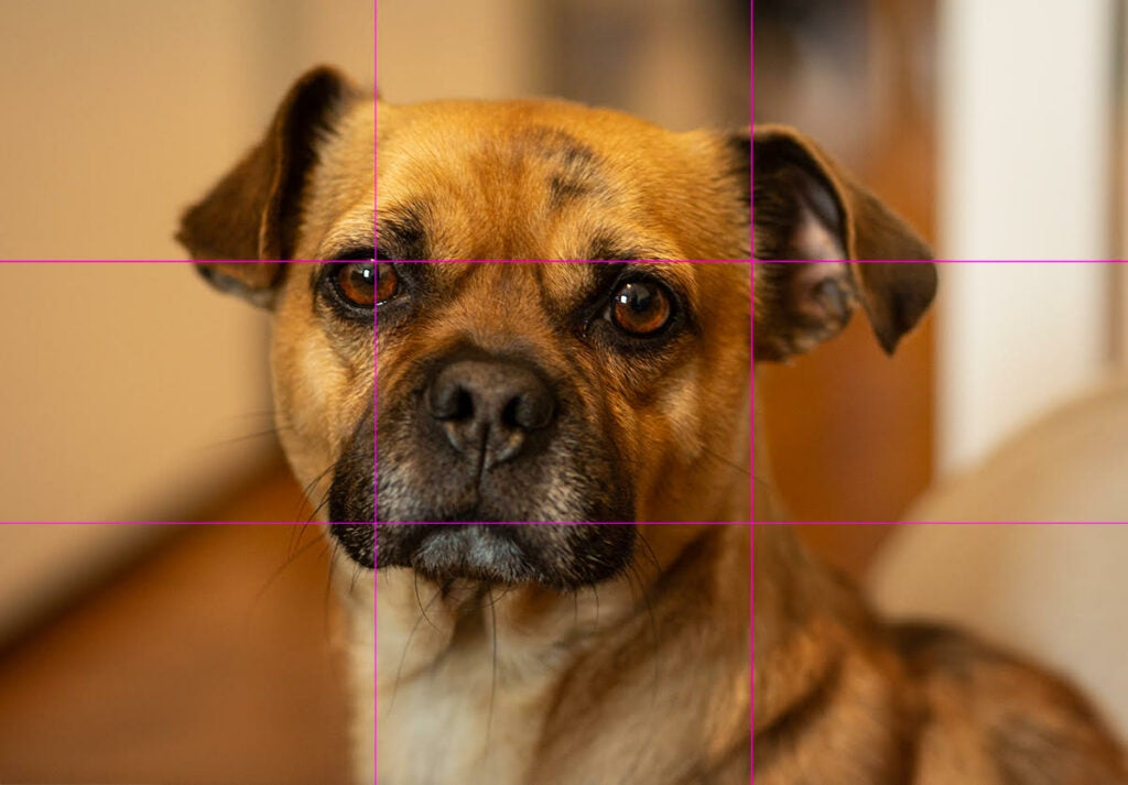 a photo of a dog with a three-by-three grid overlaid to depict photography's rule of thirds